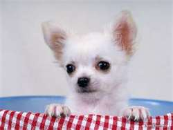 Cookie , chien Chihuahua