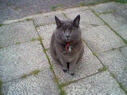 Philo, chat Chartreux