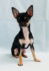 Lya, chien Chihuahua