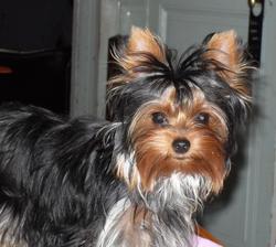 Duchesse Nina, chien Yorkshire Terrier