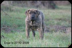 Enjie, chien Dogo canario