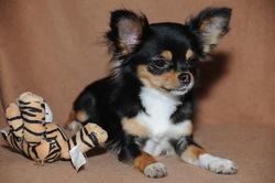 Edwige, chien Chihuahua