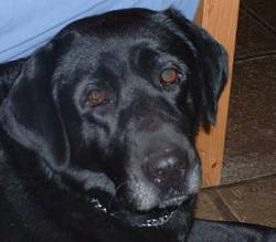 Chupa, chien Labrador Retriever