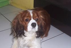 Belle , chien Cavalier King Charles Spaniel