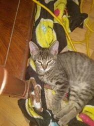 Etoile, chaton Mau Egyptien