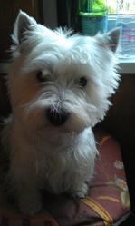 Eamon, chien West Highland White Terrier