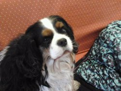 East, chien Cavalier King Charles Spaniel