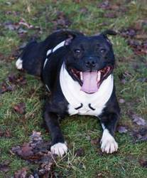 Easy, chien Staffordshire Bull Terrier