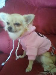 Easy, chien Chihuahua
