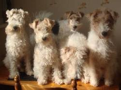 Easy, chien Fox-Terrier