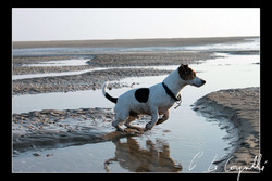 Easy, chien Jack Russell Terrier