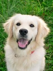 Easy , chien Golden Retriever