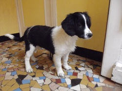 Easy, chien Border Collie