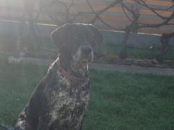 Easy, chien Braque allemand à poil court
