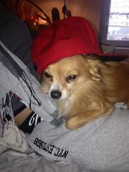 Eaton, chien Chihuahua