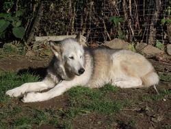 Nanouk, chien Malamute de l'Alaska