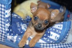 Farah, chien Chihuahua