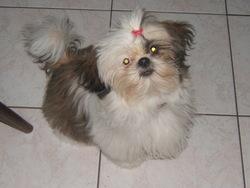 Bounty, chien Shih Tzu