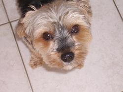 Betty, chien Yorkshire Terrier