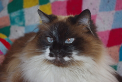 Candy, chat Birman