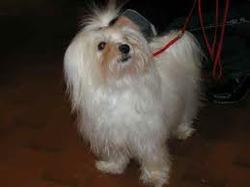 Loupiot, chien Bichon havanais