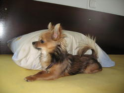 Calain, chien Chihuahua