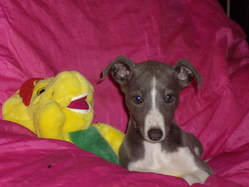 Kyra, chien Whippet