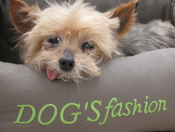 Ity, chien Yorkshire Terrier