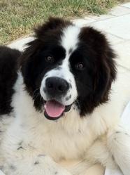 Fragan, chien Landseer