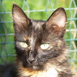 Athena De La Forêt Verte, chat Angora turc