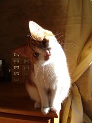 Biscotte, chat Européen
