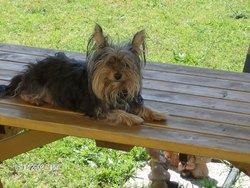 Olympe, chien Yorkshire Terrier