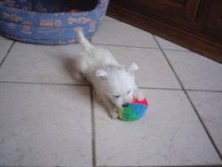 Joy, chien West Highland White Terrier