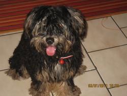 Winnie, chien Yorkshire Terrier