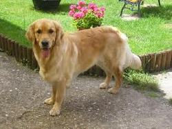 Ebene, chien Golden Retriever
