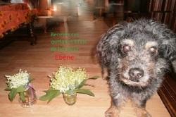 Ebène, chien