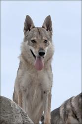 Ebène, chien Chien-loup tchèque