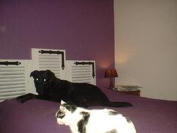 Ebène, chien Labrador Retriever