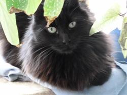 Ébène De La Blaquière, chat