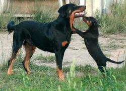Ebéne Du Perouet, chien Beauceron