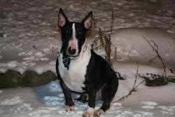 Ebony, chien Bull Terrier