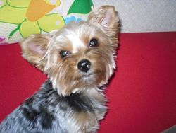 Ebony, chien Yorkshire Terrier