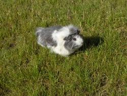 Mystere, rongeur Cochon d'Inde