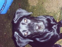 Éra, chien Labrador Retriever