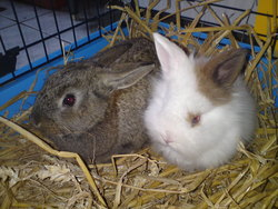 Chausette, rongeur Lapin