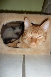 Spéculos, chat Gouttière