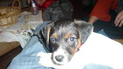 Hindie, chien Jack Russell Terrier