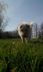 Lila, chien Fox-Terrier