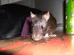 Elm Evil, rongeur Rat