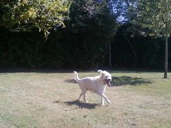 Chipounette, chien